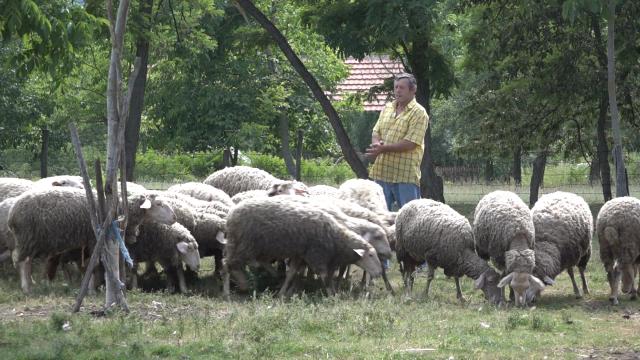 Kašnjene u isplati subvencija i skupa nafta problem za ovčare