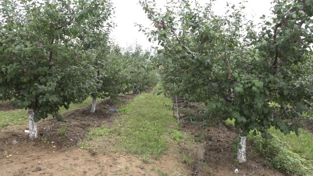 Grad obarao voće u delu Šumadije