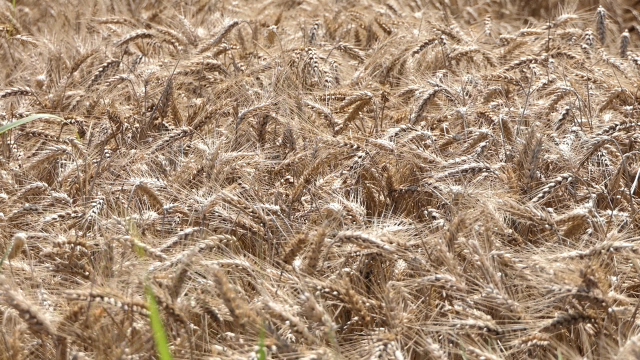 Kiša odložila žetvu pšenice u Sremu