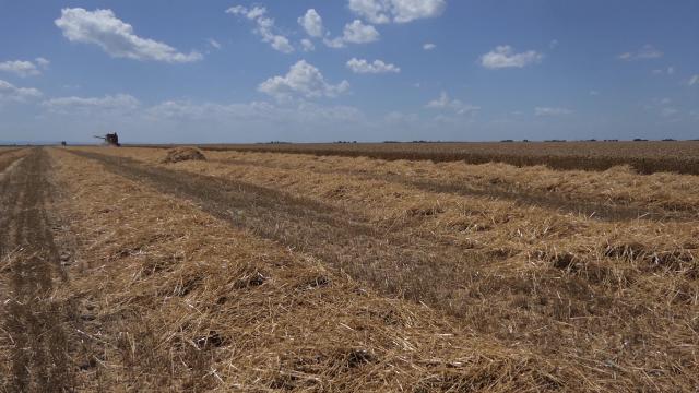 Za pšenicu u Vojvodini nema dobrih prognoza