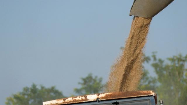 Pšenice ima dovoljno