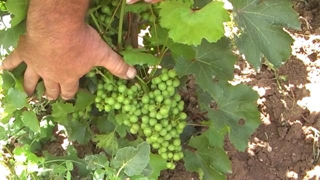 Puna agrotehnika uslov za dobar rod grožđa