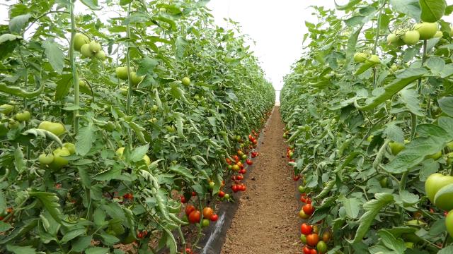 Izvezeno oko 600 tona leskovačkog paradajza