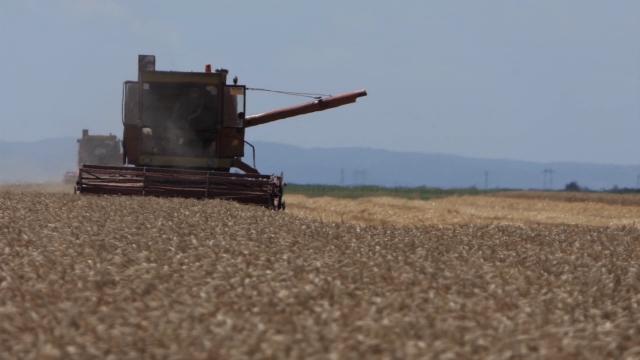 Problematičan kvalitet požnjevene pšenice
