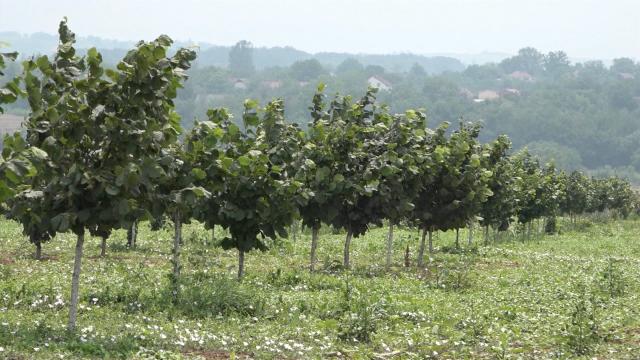 Previše vlage izaziva bolesti voća