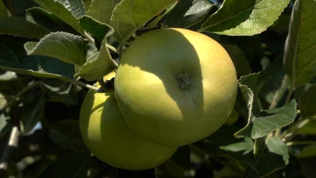 Vremenske prilike dobre za šljivu i jabuku
