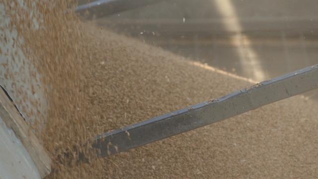 Kvalitet zrna umanjen za oko 60%