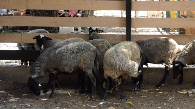 Romanovska ovca sve popularnija