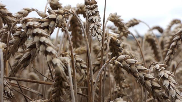 Rast cena pšenice
