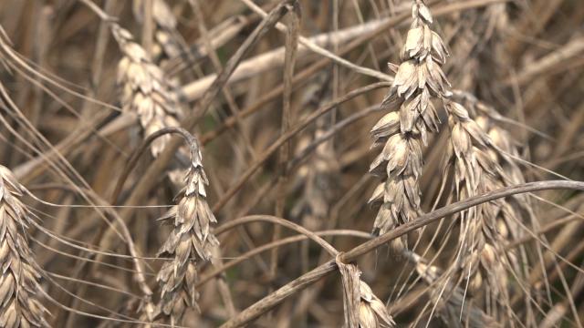 Prinos pšenice u Pomoravlju oko 3 tone po hektaru