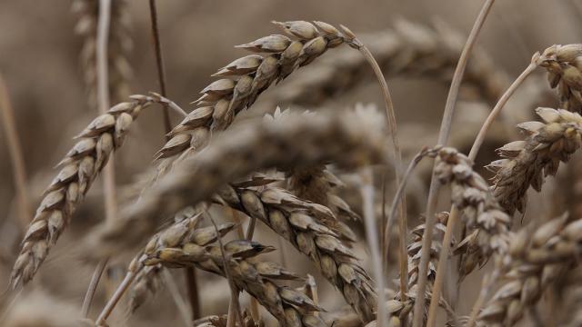 Problematičan kvalitet ovogodišnjeg roda pšenice