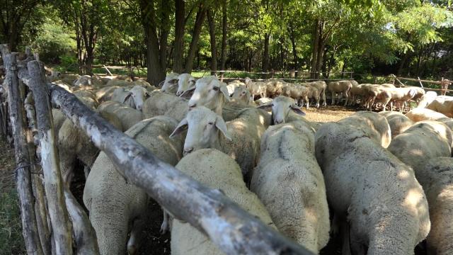 Ovčari nezadovoljni trenutnom cenom