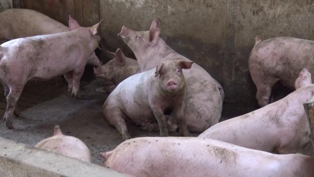 Zbog afričke kuge svinja oformljen Nacionalni krizni centar