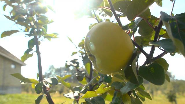Dunja, nepravedno zapostavljena voćna vrsta