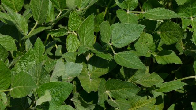 Srbija ne proizvodi GMO soju