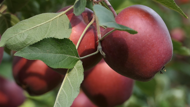 Rodile jabuke u Južnom Banatu