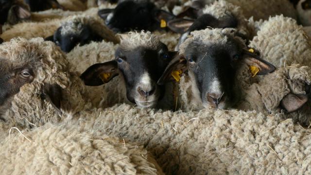 U ovčarstvu ima boljitka