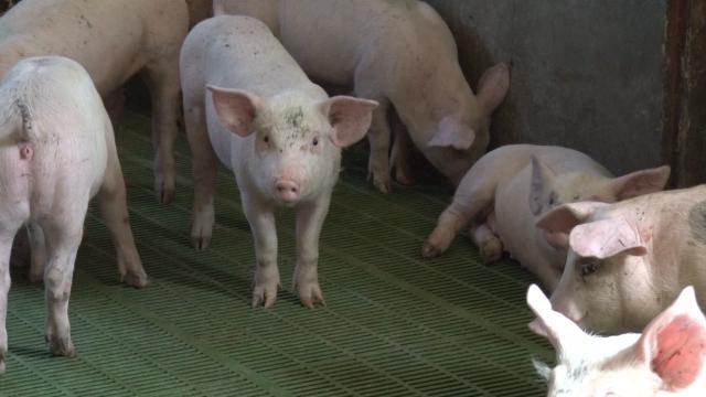 Cena svinjetine drastično pala za manje od mesec dana