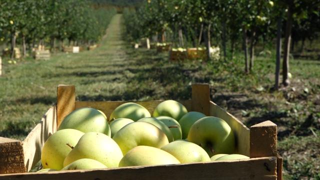 Jabuka dobro rodila
