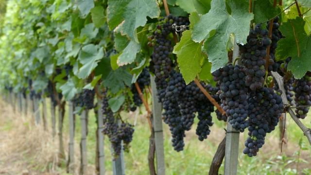 Vlada Srbije pomaže vinarstvo i vinogradarstvo