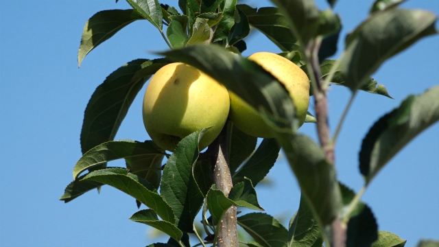 Cena jabuke pada iz dana u dan
