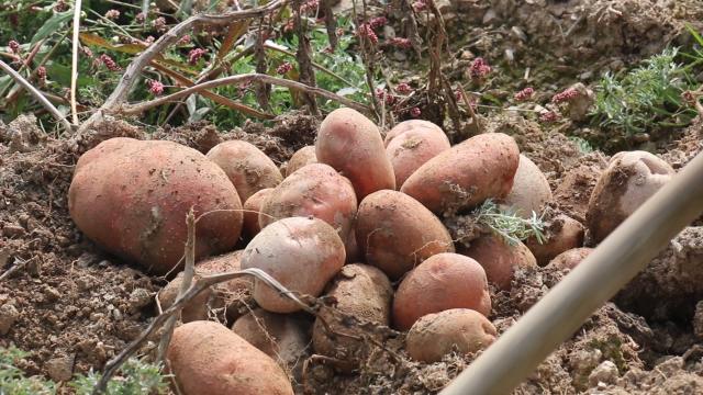 Nezapamćen prinos krompira