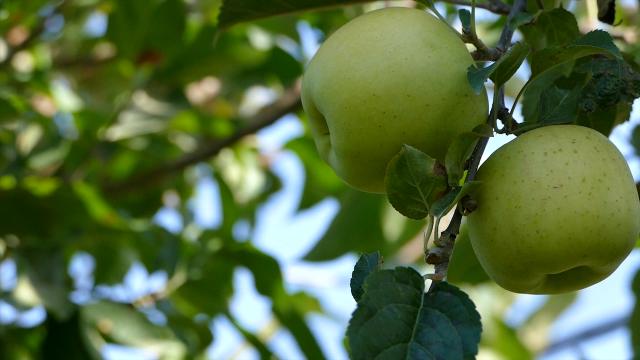 Kilogram prve klase jabuka 50 dinara