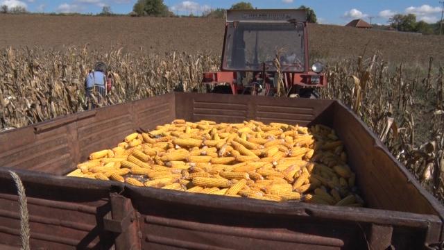 Cena kukuruza brine ratare