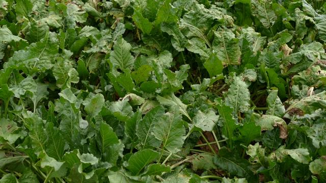 Teška godina za proizvođače šećerne repe