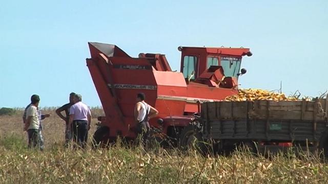 Berba kukuruza u Nišavskom okrugu u punom jeku