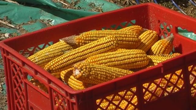 Dominiraju pšenica i kukuruz