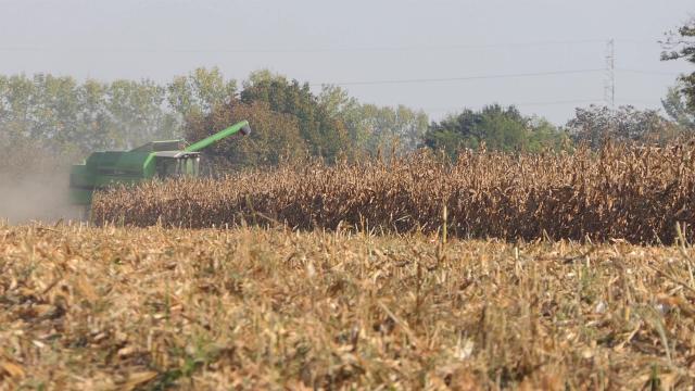 Kukuruz u čardacima čeka bolju cenu