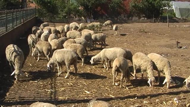 Ovčarstvo može biti isplativa delatnost
