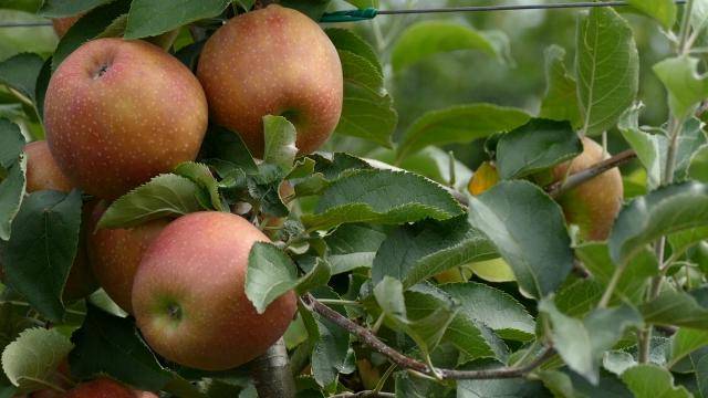 Srbija mora da traži nova tržišta za plasman jabuke