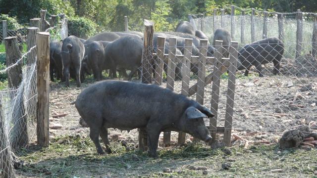 Očuvanje autohtonih gena utiče na razvoj svinjarstva