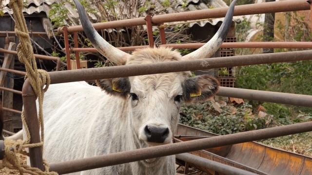 Podolsko goveče - ugroženo održiva rasa