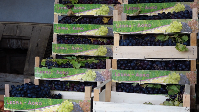 Solidna cena grožđa