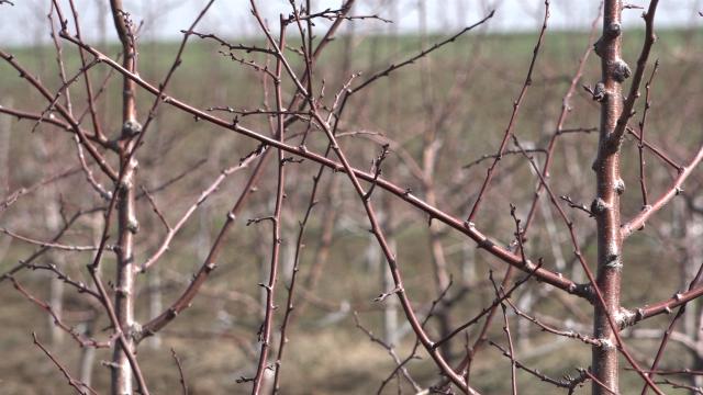Zečevi prete voćnjacima