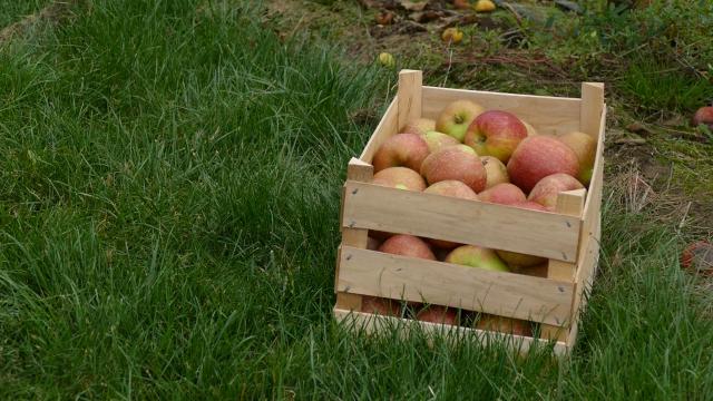 Očekuje se rast cene jabuke posle Nove godine