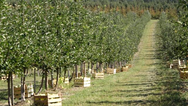Sadnja jabuke po zahtevima tržišta