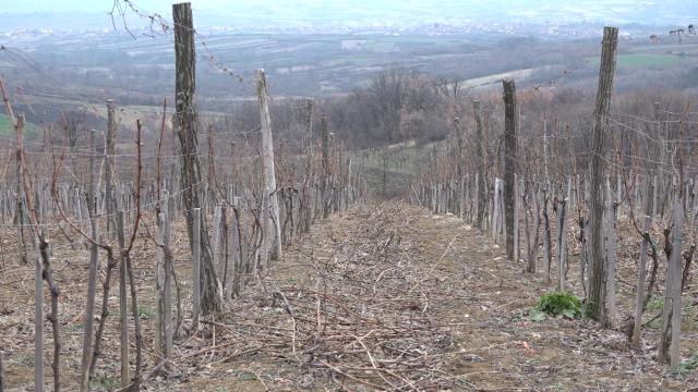 Priprema vinograda za zimu