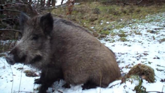 Farma divljih svinja za unapređenje lovnog turizma