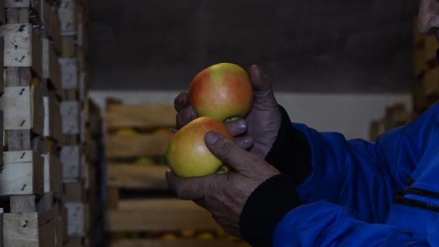 I dalje niska cena jabuka