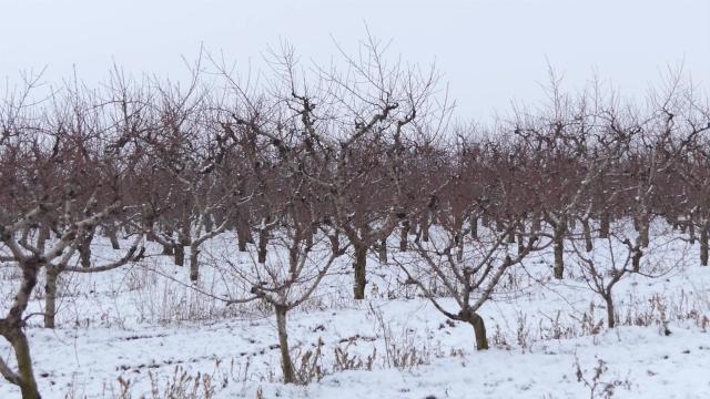 Zaštita voćnjaka tokom zime