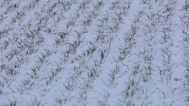 Sneg prijao ozimim usevima