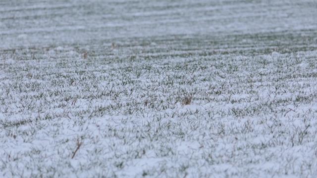 Sneg zaštitio useve od mraza