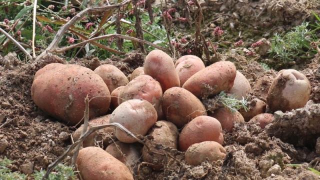 Holandsko poreklo  ivanjičkog krompira