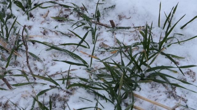 Kada se sneg otopi biće jasnije u kakvom su stanju usevi