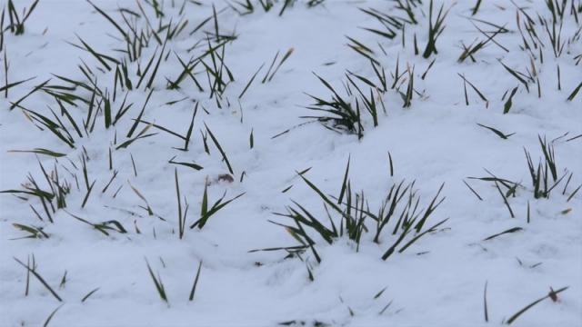 Sneg prija ozimim usevima
