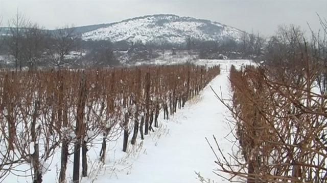 Zaštita vinograda neophodna
